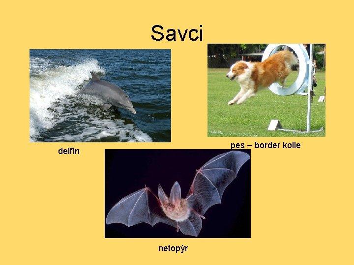 Savci pes – border kolie delfín netopýr
