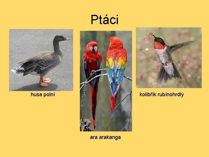 Ptáci husa polní kolibřík rubínohrdlý arakanga