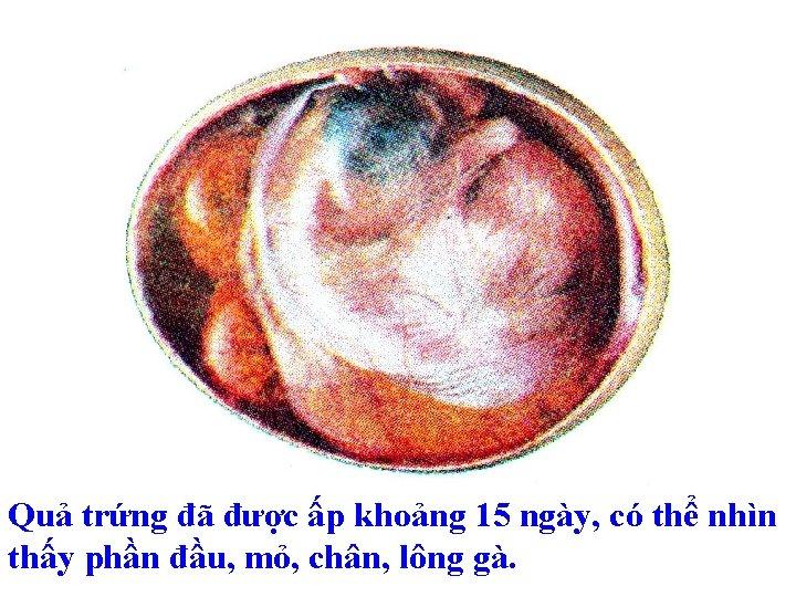 Quả trứng đã được ấp khoảng 15 ngày, có thể nhìn thấy phần đầu,