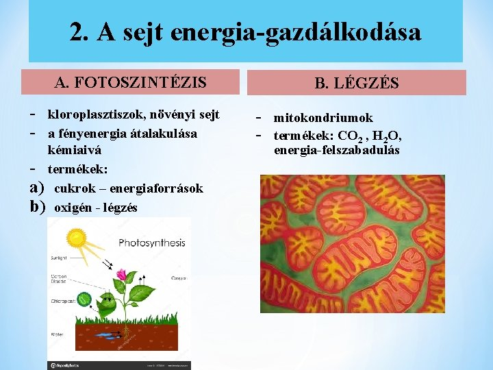 2. A sejt energia-gazdálkodása A. FOTOSZINTÉZIS - kloroplasztiszok, növényi sejt a fényenergia átalakulása kémiaivá