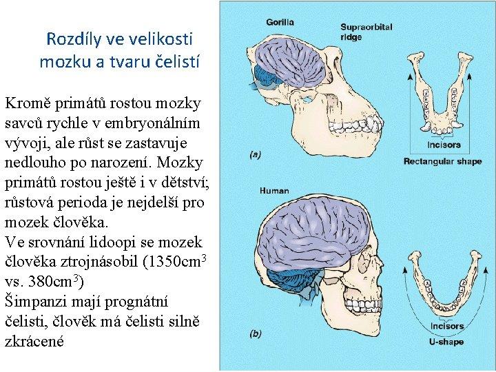 Rozdíly ve velikosti mozku a tvaru čelistí Kromě primátů rostou mozky savců rychle v