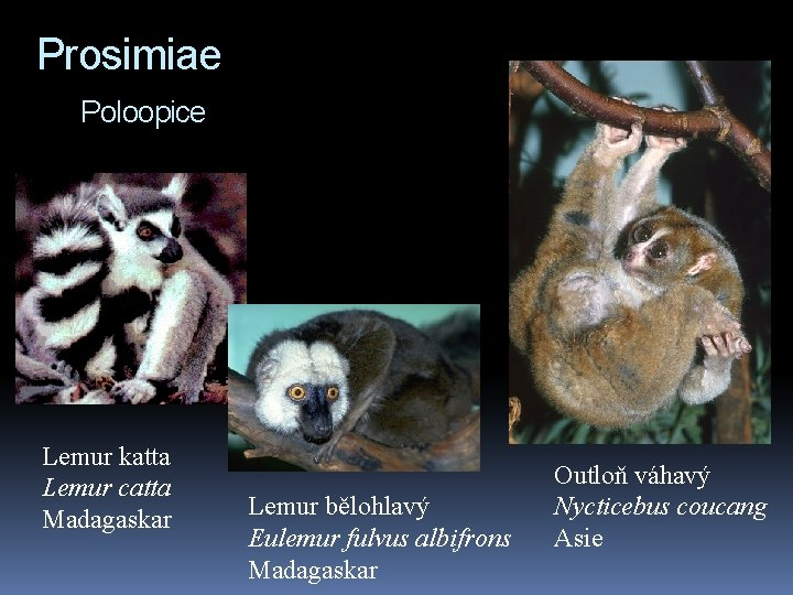 Prosimiae Poloopice Lemur katta Lemur catta Madagaskar Lemur bělohlavý Eulemur fulvus albifrons Madagaskar Outloň