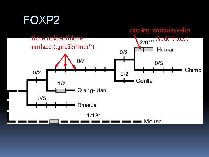 """FOXP 2 tiché nukleotidové mutace (""""přeškrtnutí"""") záměny aminokyselin (šedé boxy)"""