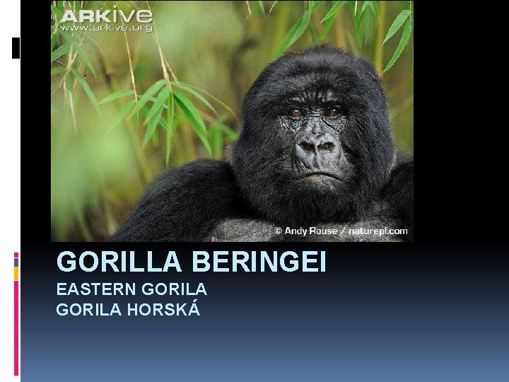 GORILLA BERINGEI EASTERN GORILA HORSKÁ