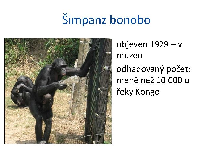 Šimpanz bonobo • objeven 1929 – v muzeu • odhadovaný počet: méně než 10