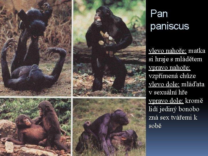 Pan paniscus vlevo nahoře: matka si hraje s mládětem vpravo nahoře: vzpřímená chůze vlevo