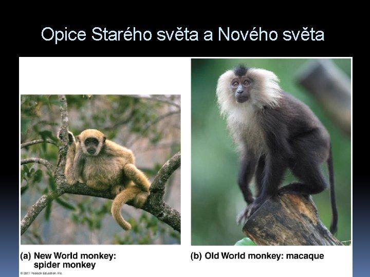 Opice Starého světa a Nového světa