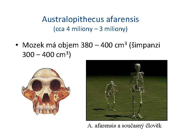 Australopithecus afarensis (cca 4 miliony – 3 miliony) • Mozek má objem 380 –
