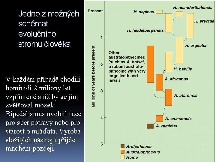 Jedno z možných schémat evolučního stromu člověka V každém případě chodili hominidi 2 miliony
