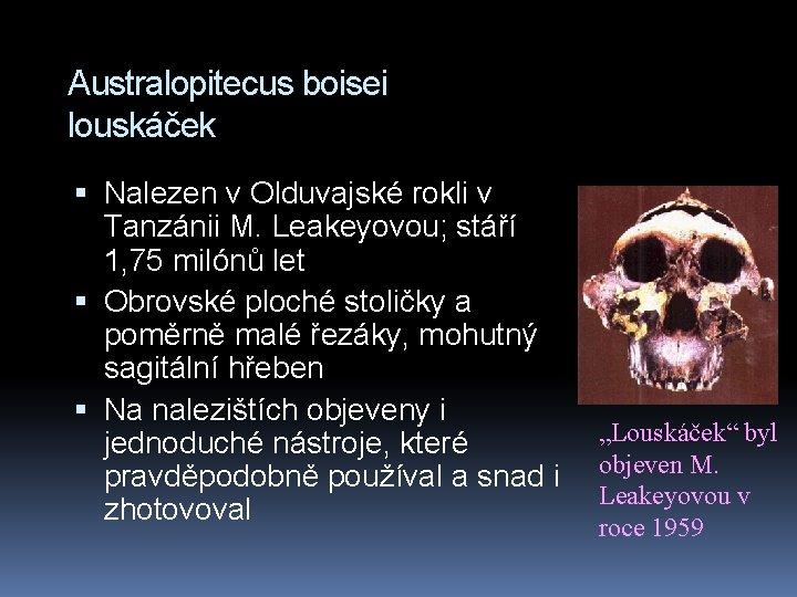 Australopitecus boisei louskáček Nalezen v Olduvajské rokli v Tanzánii M. Leakeyovou; stáří 1, 75