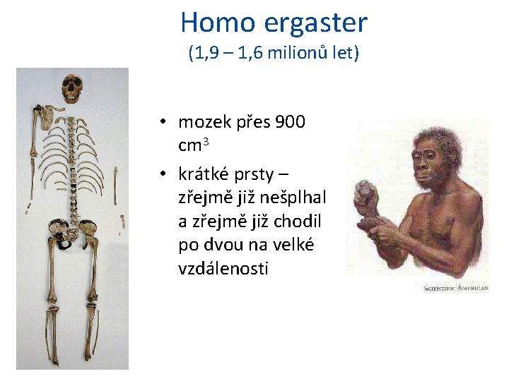 Homo ergaster (1, 9 – 1, 6 milionů let) • mozek přes 900 cm