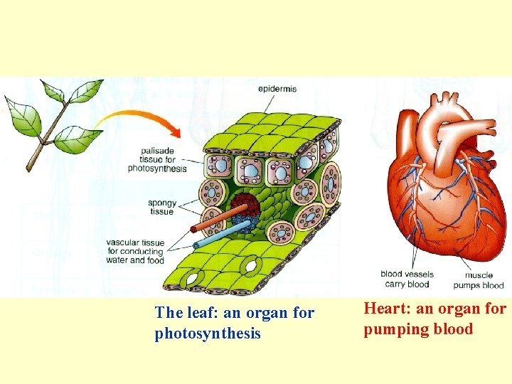 The leaf: an organ for photosynthesis Heart: an organ for pumping blood