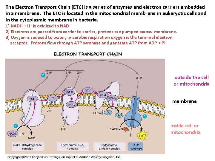 The Electron Transport Chain (ETC) is a series of enzymes and electron carriers embedded