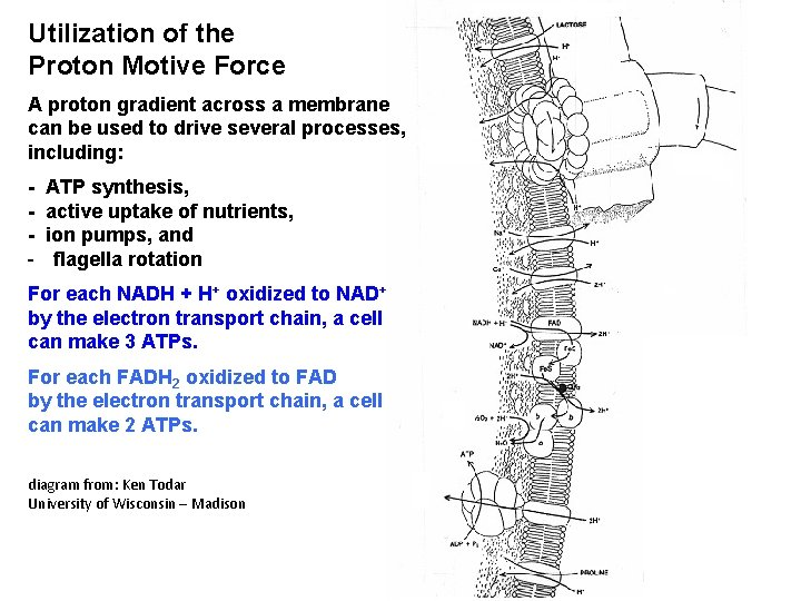 Utilization of the Proton Motive Force A proton gradient across a membrane can be