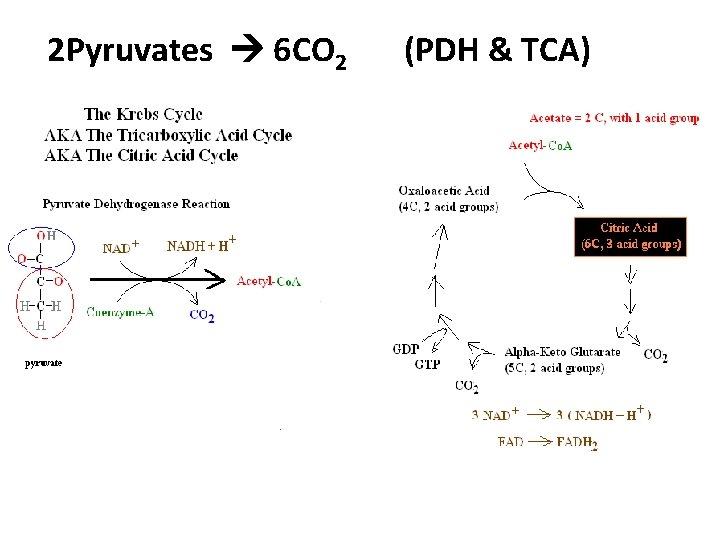 2 Pyruvates 6 CO 2 (PDH & TCA)