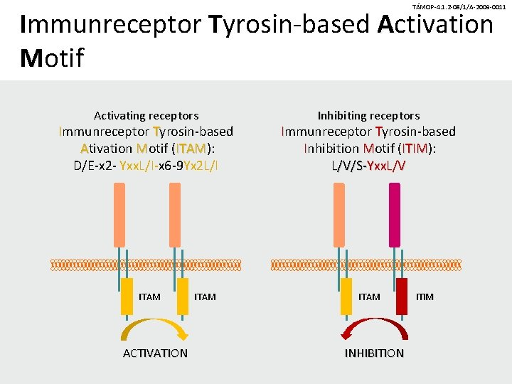 TÁMOP-4. 1. 2 -08/1/A-2009 -0011 Immunreceptor Tyrosin-based Activation Motif Activating receptors Immunreceptor Tyrosin-based Ativation