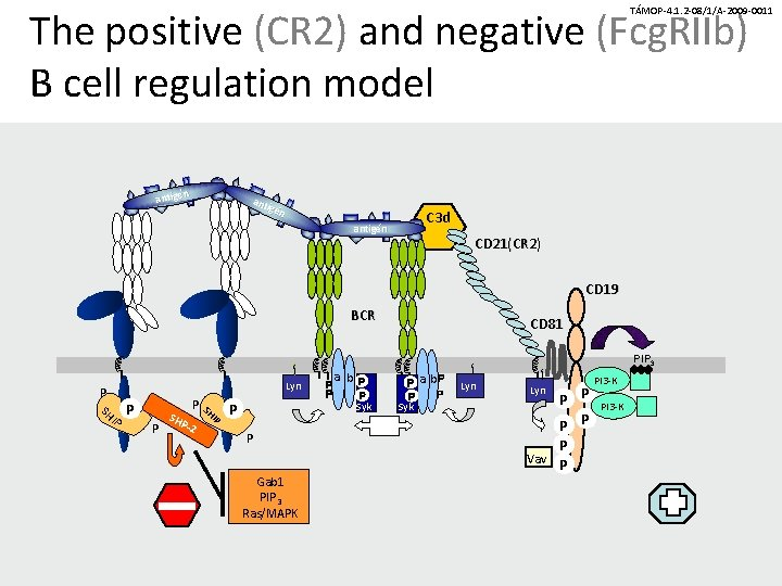 The positive (CR 2) and negative (Fcg. RIIb) B cell regulation model TÁMOP-4. 1.