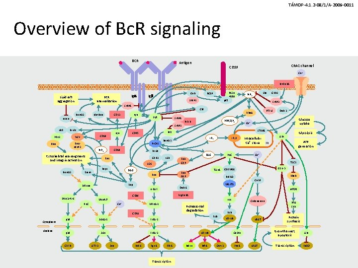 TÁMOP-4. 1. 2 -08/1/A-2009 -0011 Overview of Bc. R signaling BCR Antigen CRAC channel