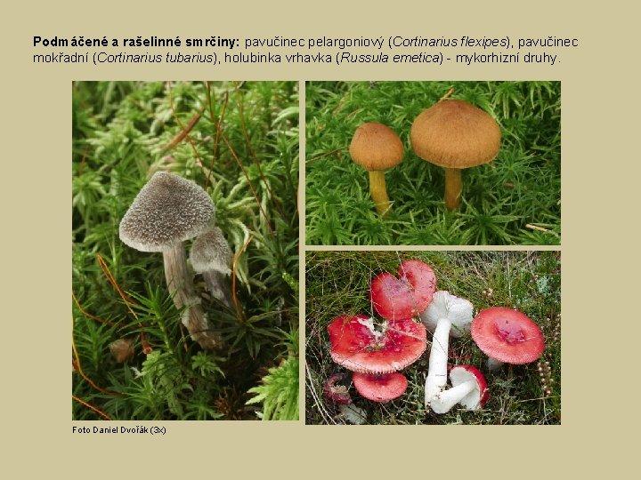 Podmáčené a rašelinné smrčiny: pavučinec pelargoniový (Cortinarius flexipes), pavučinec mokřadní (Cortinarius tubarius), holubinka vrhavka
