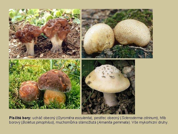 Písčité bory: ucháč obecný (Gyromitra esculenta), pestřec obecný (Scleroderma citrinum), hřib borový (Boletus pinophilus),