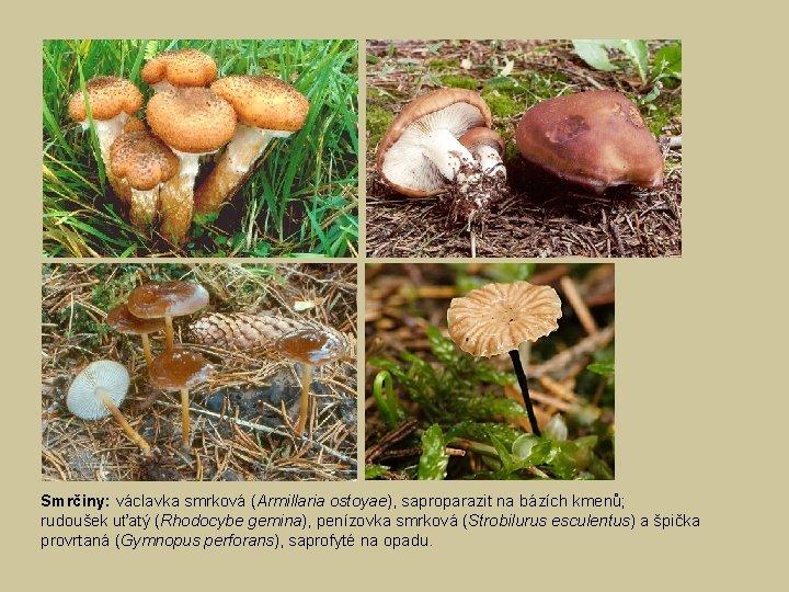 Smrčiny: václavka smrková (Armillaria ostoyae), saproparazit na bázích kmenů; rudoušek uťatý (Rhodocybe gemina), penízovka