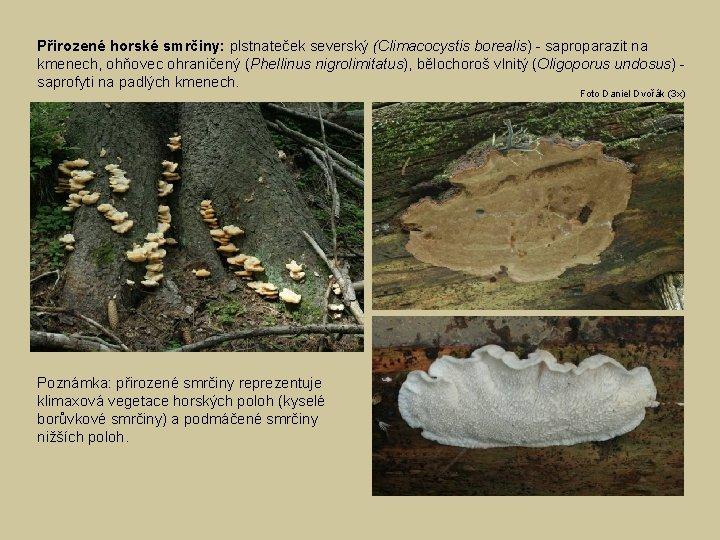 Přirozené horské smrčiny: plstnateček severský (Climacocystis borealis) - saproparazit na kmenech, ohňovec ohraničený (Phellinus