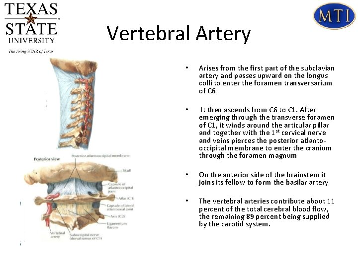 Vertebral Artery • Arises from the first part of the subclavian artery and passes