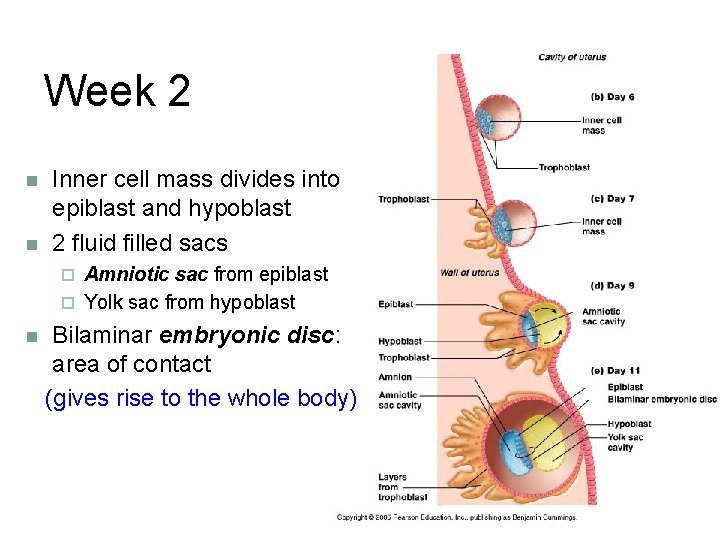 Week 2 n n Inner cell mass divides into epiblast and hypoblast 2 fluid