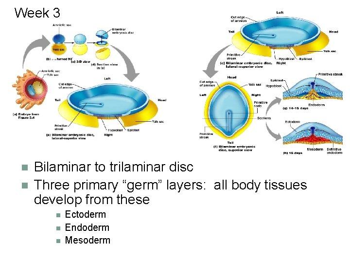 "Week 3 n n Bilaminar to trilaminar disc Three primary ""germ"" layers: all body"