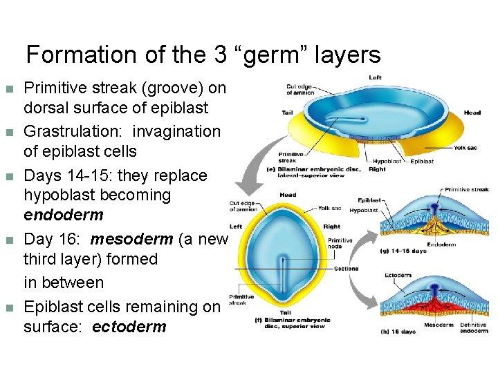 "Formation of the 3 ""germ"" layers n n n Primitive streak (groove) on dorsal"