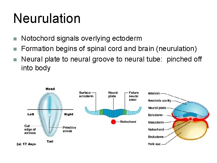 Neurulation n Notochord signals overlying ectoderm Formation begins of spinal cord and brain (neurulation)