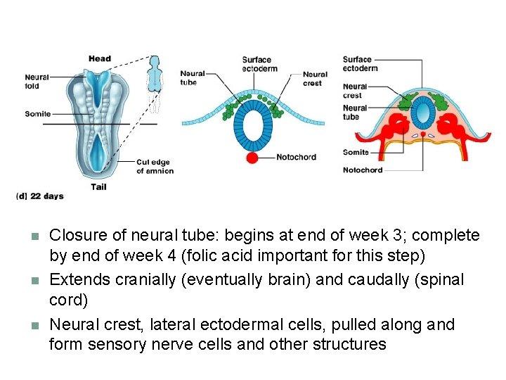 n n n Closure of neural tube: begins at end of week 3; complete