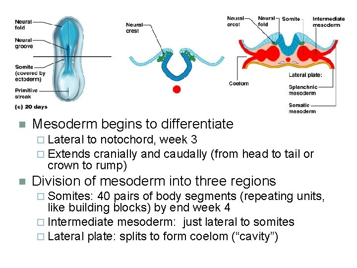 n Mesoderm begins to differentiate ¨ Lateral to notochord, week 3 ¨ Extends cranially