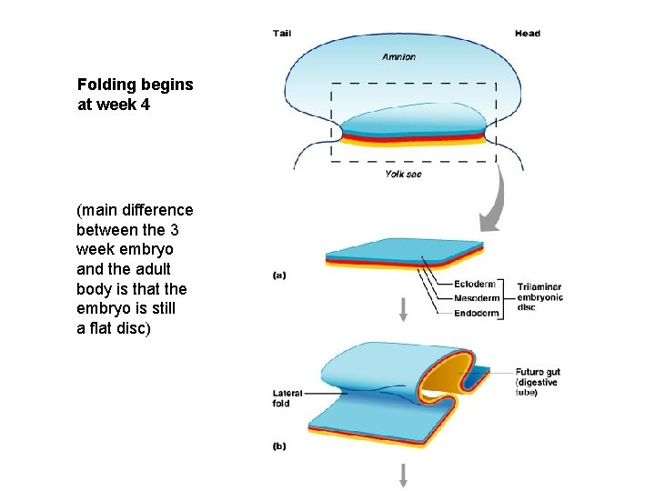 Folding begins at week 4 (main difference between the 3 week embryo and the