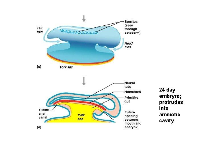 24 day embryro; protrudes into amniotic cavity