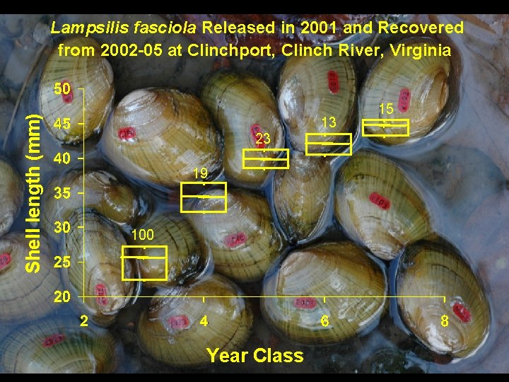 Shell length (mm) Lampsilis fasciola Released in 2001 and Recovered from 2002 -05 at