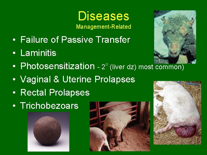 Diseases Management-Related • • • Failure of Passive Transfer Laminitis Photosensitization - 2 o