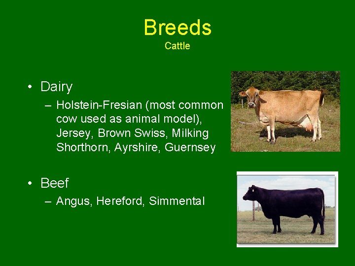 Breeds Cattle • Dairy – Holstein-Fresian (most common cow used as animal model), Jersey,