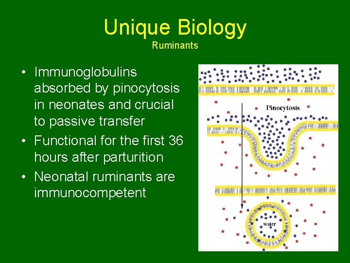 Unique Biology Ruminants • Immunoglobulins absorbed by pinocytosis in neonates and crucial to passive