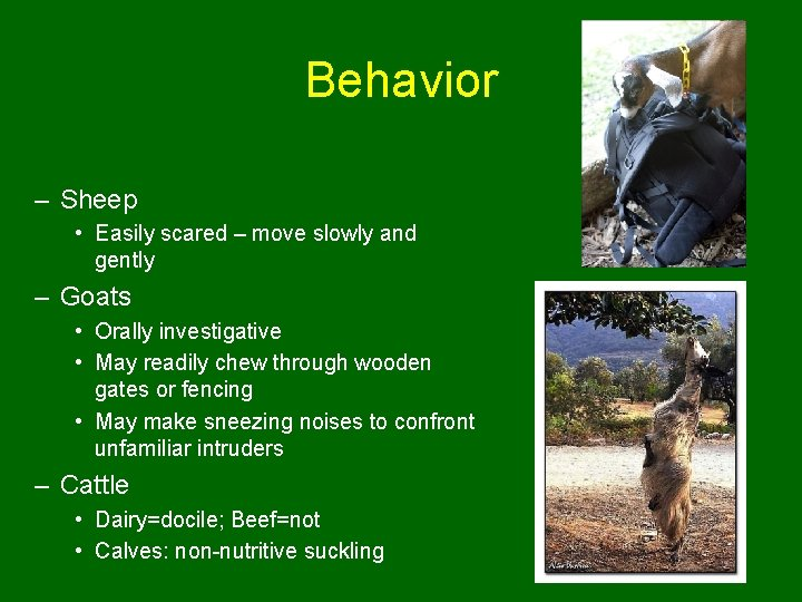 Behavior – Sheep • Easily scared – move slowly and gently – Goats •