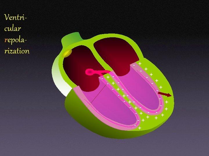 Ventricular repolarization - + + -+ + - - + - +- + -