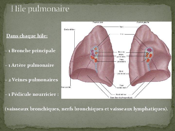 Hile pulmonaire Dans chaque hile: – 1 Bronche principale – 1 Artère pulmonaire –