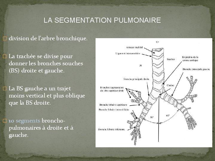 LA SEGMENTATION PULMONAIRE � division de l'arbre bronchique. � La trachée se divise pour