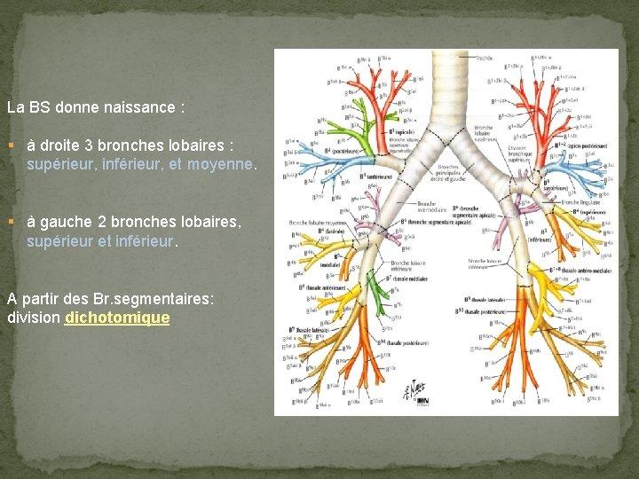 La BS donne naissance : § à droite 3 bronches lobaires : supérieur, inférieur,
