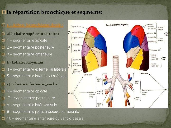 � la répartition bronchique et segments: � 1 – Arbre bronchique droit : �