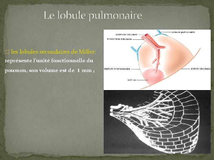 Le lobule pulmonaire � les lobules secondaires de Miller: représente l'unité fonctionnelle du