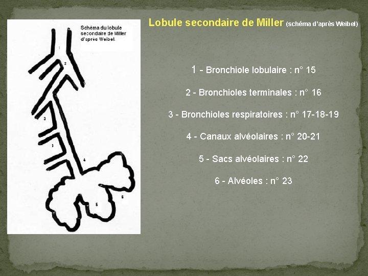 Lobule secondaire de Miller (schéma d'après Weibel) 1 - Bronchiole lobulaire : n° 15