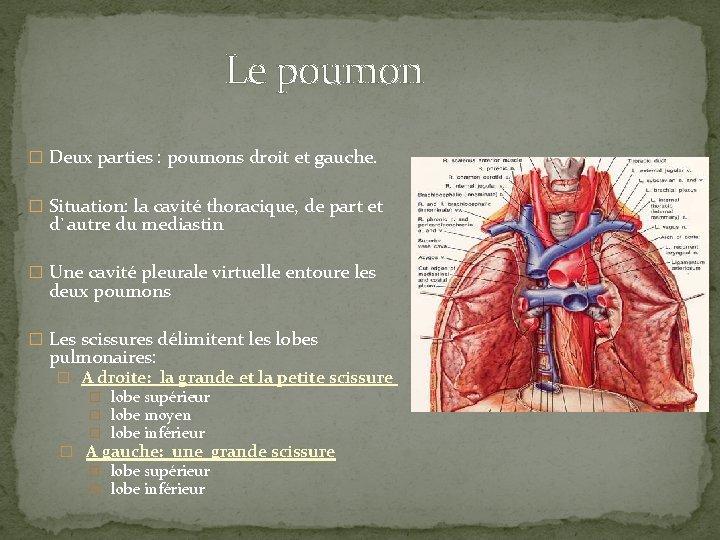 Le poumon � Deux parties : poumons droit et gauche. � Situation: la