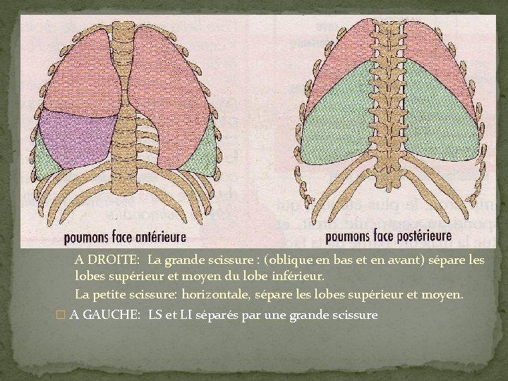 A DROITE: La grande scissure : (oblique en bas et en avant) sépare les