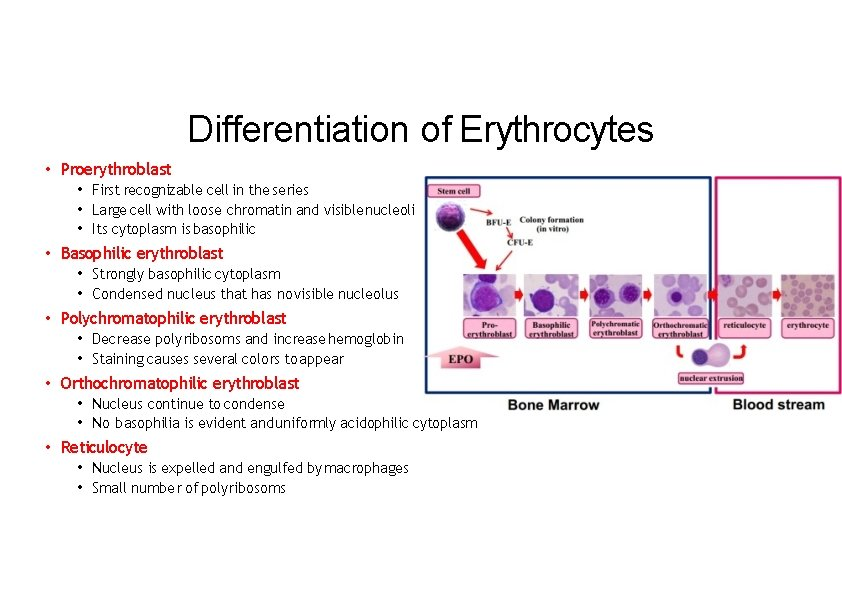 Differentiation of Erythrocytes • Proerythroblast • First recognizable cell in the series • Large